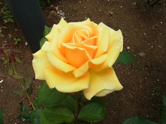 平塚のばら黄色