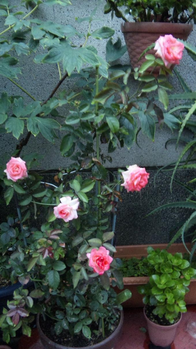 ROSES_20110822
