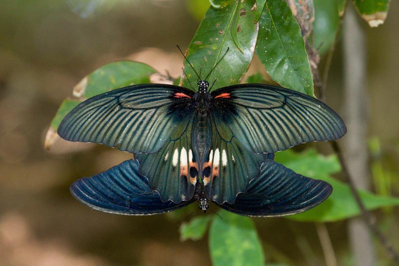 ナガサキアゲハの交尾シーン