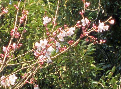 彼岸桜 開花