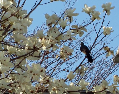 白木蓮と鳥