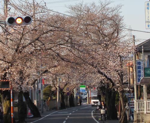 本日の桜通り