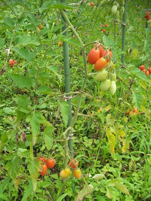 アイコ トマト