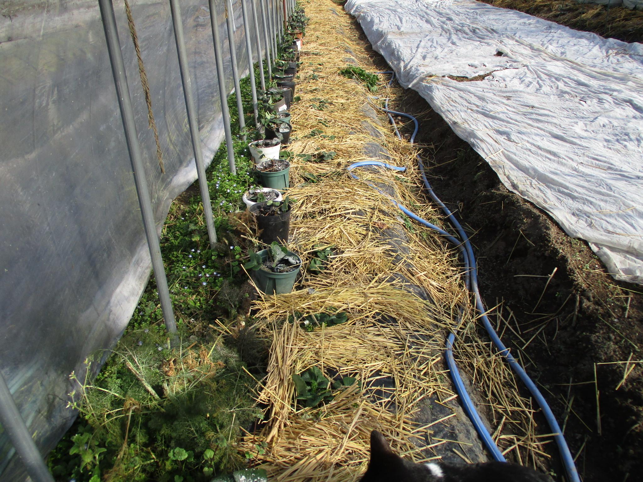 野菜苗の定植