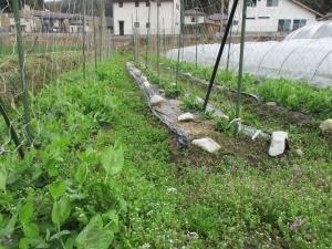 からし菜の種