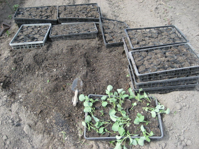 キャベツの植え替え