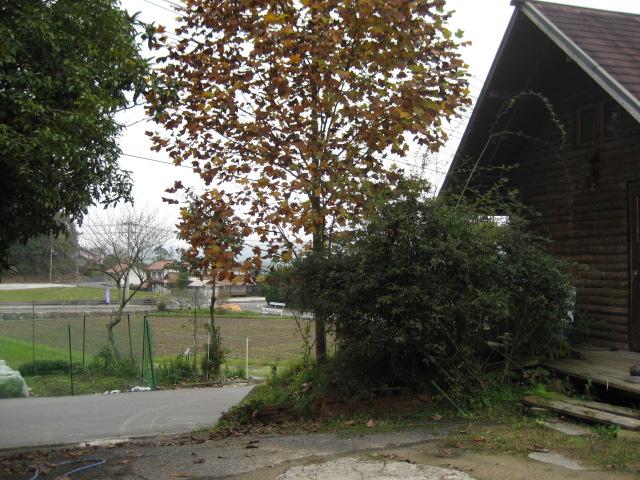 チュウリップの木