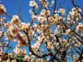 110305桃色の梅
