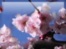 桜 No.6