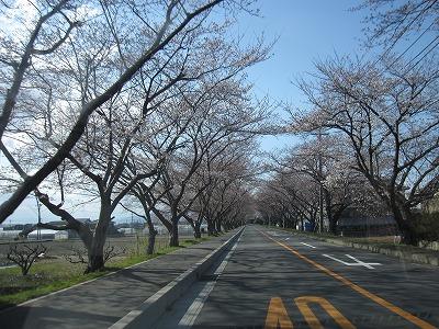 木曽崎の桜