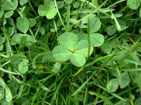 4-leafed clover