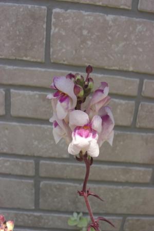 銅葉キンギョ草花5.2