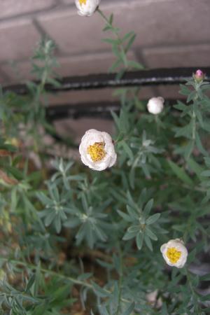 花かんざし5.23