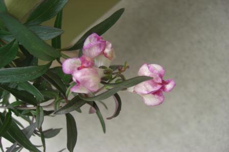 銅葉キンギョ草7.29