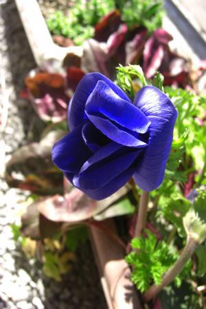 アネモネ紫2011.3