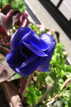 アネモネ紫A2011.3