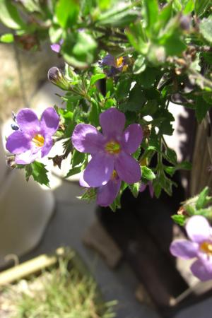 バコパ紫2011.4