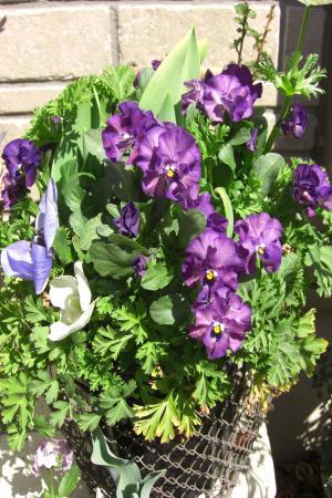 ビオラ紫2011.4