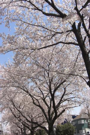 桜並木2011.4