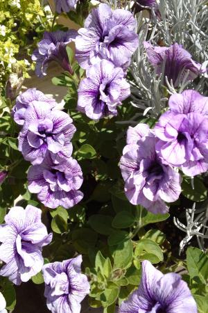 ペチュ紫11.6.1
