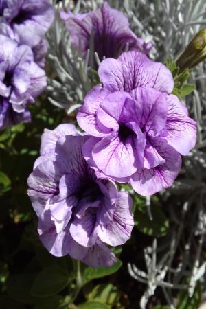 ペチュ紫A11.6.1