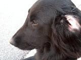 名(迷)犬フラッドの横顔