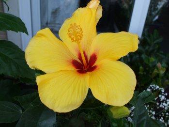 haibisukasu yellow