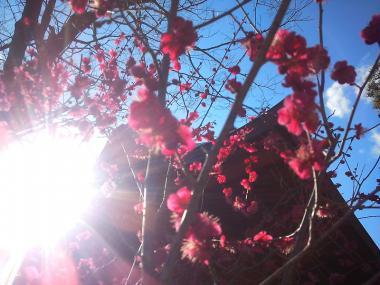 2013-02-21 鎌倉八幡宮紅梅