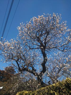 2013-03-11 猿田神社梅
