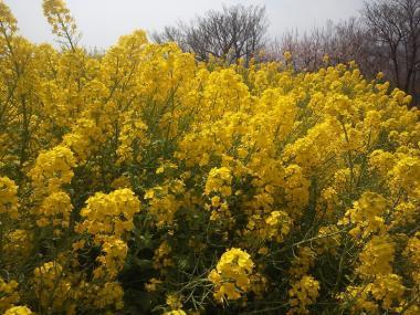 2013-03-20 吾妻山公園レンギョウ2