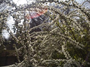 2013-03-20 吾妻山公園雪柳1