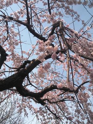 2013-03-20 吾妻山公園雪柳2