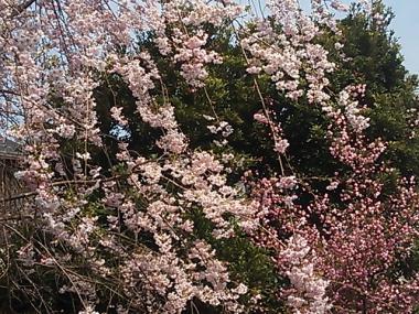 2013-03-28 大塚坂下公園枝垂れ桜