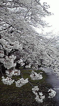 2013-03-29小石川植物園1