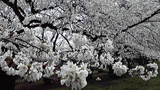 2013-03-29小石川植物園2