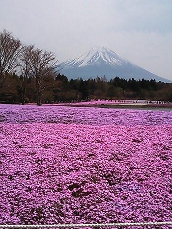 2013-04-29 富士芝桜