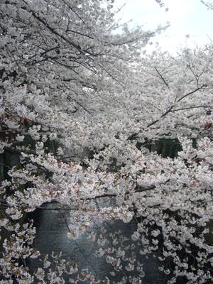 中目黒の桜2012_1