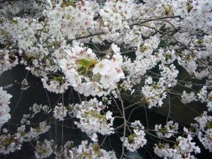 中目黒の桜2012_2
