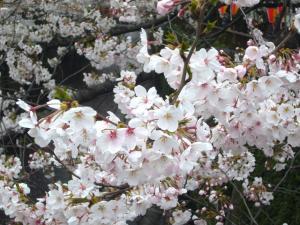 中目黒の桜2012_4