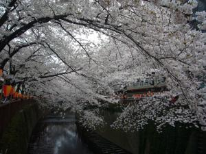 中目黒の桜2012_7