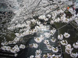 中目黒の桜2012_8