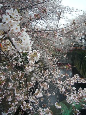 中目黒の桜2012_9
