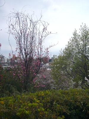 中目黒の桜2012_10