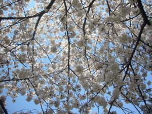 柳瀬川の桜2012_1