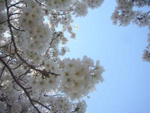柳瀬川の桜2012_2