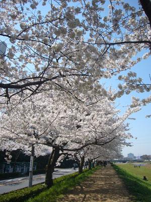 柳瀬川の桜2012_3