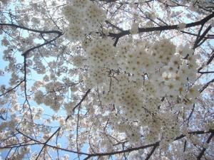 柳瀬川の桜2012_5