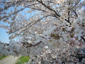 柳瀬川の桜2012_7