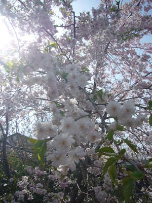 20120410坂下公園7