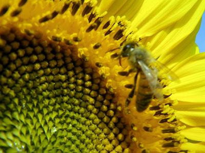 働き者のミツバチ